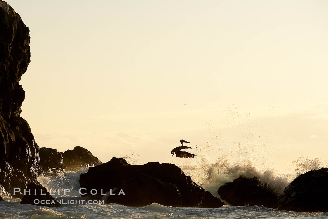 Brown pelican, waves, rocks and cliffs, sunset. Wolf Island, Galapagos Islands, Ecuador, Pelecanus occidentalis, natural history stock photograph, photo id 16689