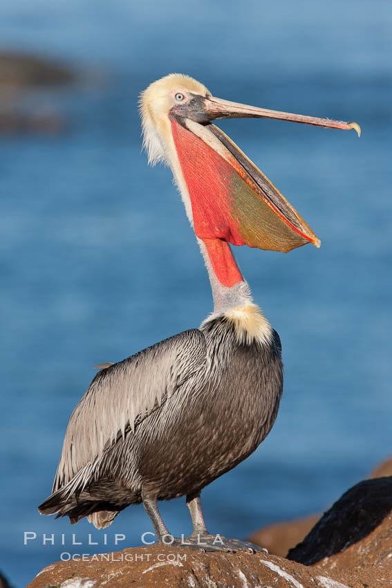 California brown pelican, throwing head back to stretch its throat, Pelecanus occidentalis, Pelecanus occidentalis californicus, La Jolla