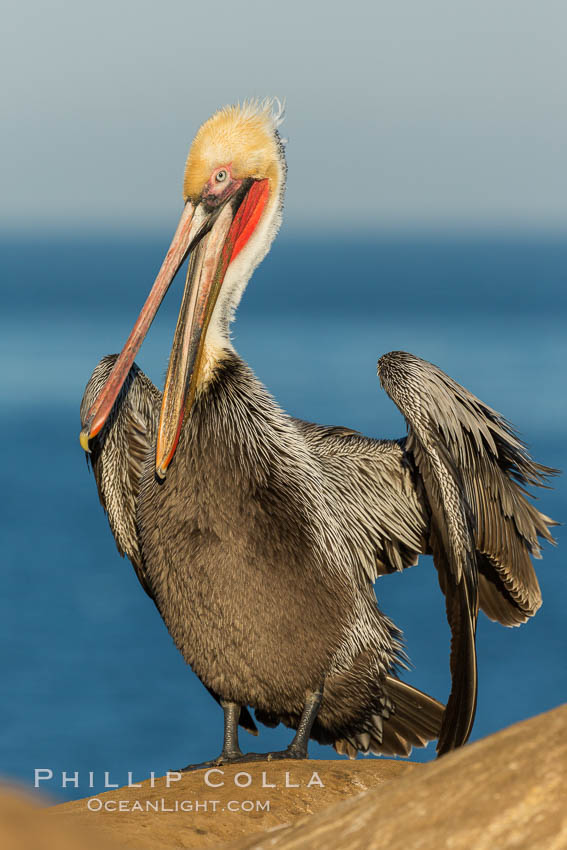 Brown pelican portrait, displaying winter plumage with distinctive yellow head feathers and red gular throat pouch. La Jolla, California, USA, Pelecanus occidentalis, Pelecanus occidentalis californicus, natural history stock photograph, photo id 30255