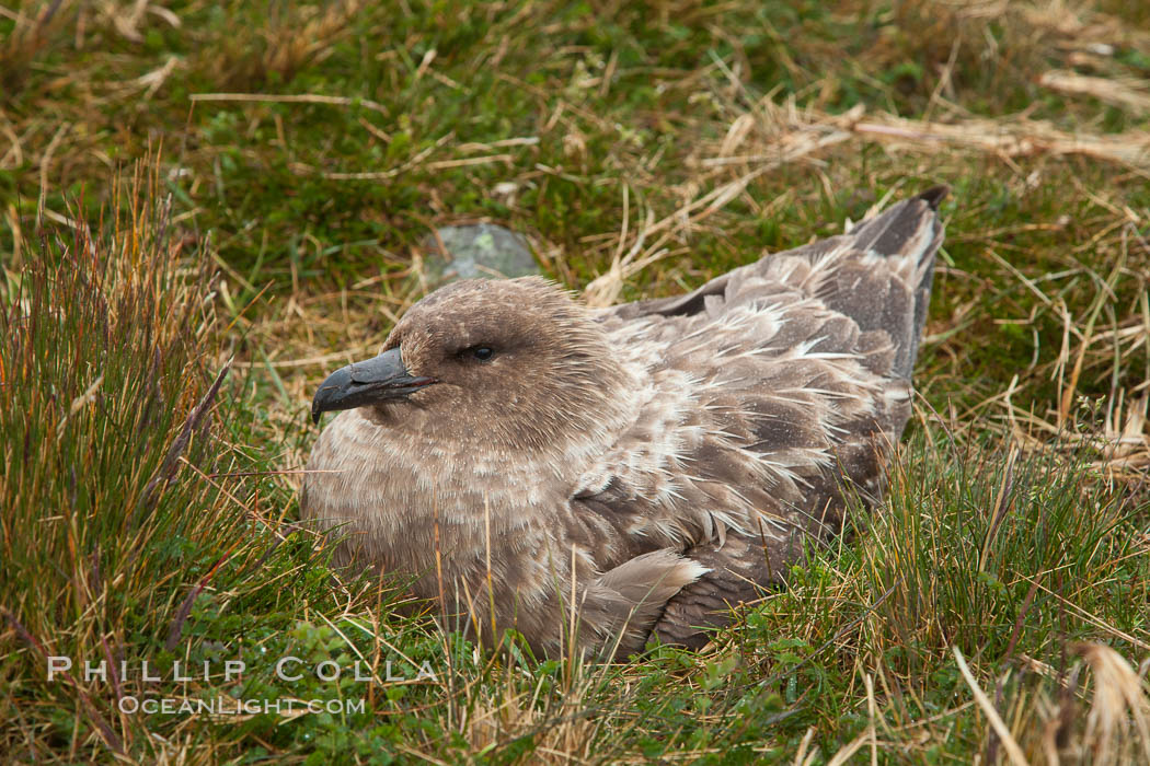 Brown skua in grass. Stromness Harbour, South Georgia Island, Stercorarius antarctica, natural history stock photograph, photo id 24585
