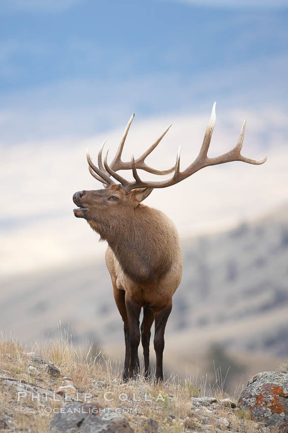 Male elk bugling during the fall rut. Large male elk are known as bulls. Male elk have large antlers which are shed each year. Males engage in competitive mating behaviors during the rut, including posturing, antler wrestling and bugling, a loud series of screams which is intended to establishe dominance over other males and attract females., Cervus canadensis,  Copyright Phillip Colla, image #19693, all rights reserved worldwide.