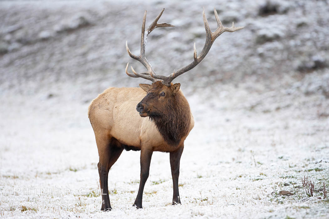 Large male elk (bull) in snow covered meadow near Madison River.  Only male elk have antlers, which start growing in the spring and are shed each winter. The largest antlers may be 4 feet long and weigh up to 40 pounds. Antlers are made of bone which can grow up to one inch per day. While growing, the antlers are covered with and protected by a soft layer of highly vascularised skin known as velvet. The velvet is shed in the summer when the antlers have fully developed. Bull elk may have six or more tines on each antler, however the number of tines has little to do with the age or maturity of a particular animal. Yellowstone National Park, Wyoming, USA, Cervus canadensis, natural history stock photograph, photo id 19692