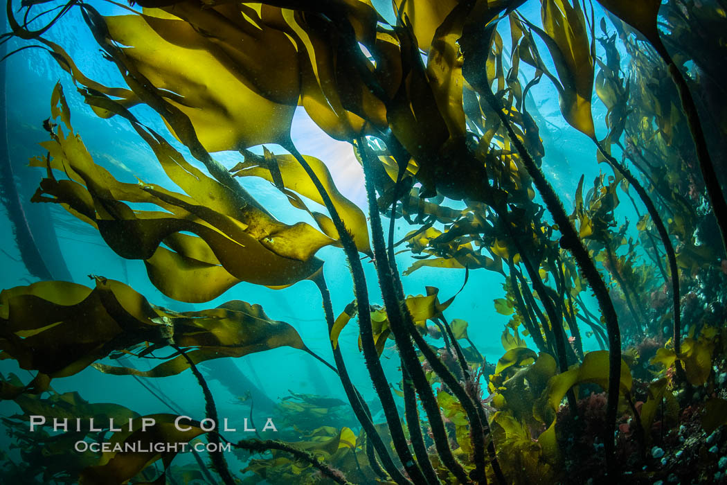 Bull kelp forest near Vancouver Island and Queen Charlotte Strait, Browning Pass, Canada. British Columbia, Nereocystis luetkeana, natural history stock photograph, photo id 35331