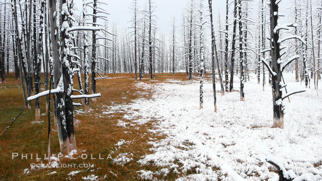 Burned trees in grass meadow in Lower Geyser Basin.  Grass on the left has hot runoff from nearby thermal springs, keeping it free of snow, Yellowstone National Park, Wyoming