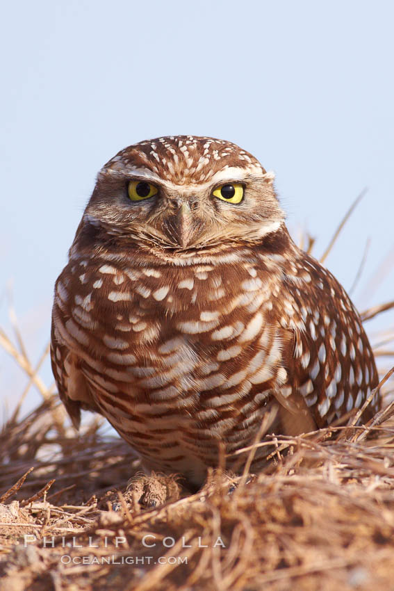 Burrowing owl (Western North American race hypugaea). This 10-inch-tall burrowing owl is standing besides its burrow. These burrows are usually created by squirrels, prairie dogs, or other rodents and even turtles, and only rarely dug by the owl itself., Athene cunicularia, Athene cunicularia hypugaea,  Copyright Phillip Colla, image #22478, all rights reserved worldwide.