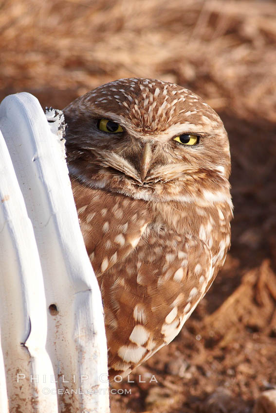 A burrowing owl peeks out of a drainage pipe.  This 10-inch-tall burrowing owl is standing besides its burrow. These burrows are usually created by squirrels, prairie dogs, or other rodents and even turtles, and only rarely dug by the owl itself., Athene cunicularia, Athene cunicularia hypugaea,  Copyright Phillip Colla, image #22479, all rights reserved worldwide.