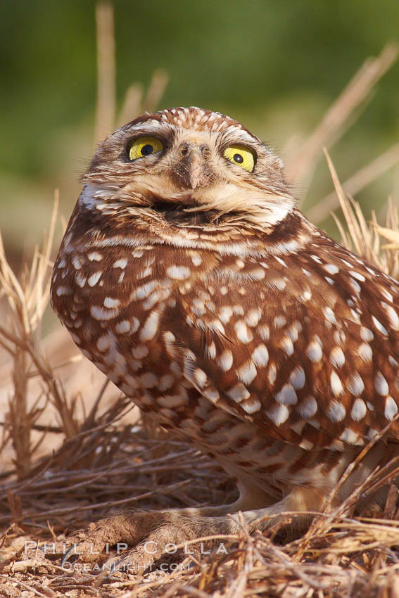 Burrowing owl (Western North American race hypugaea). This 10-inch-tall burrowing owl is standing besides its burrow. These burrows are usually created by squirrels, prairie dogs, or other rodents and even turtles, and only rarely dug by the owl itself. Salton Sea, Imperial County, California, USA, Athene cunicularia, Athene cunicularia hypugaea, natural history stock photograph, photo id 22523