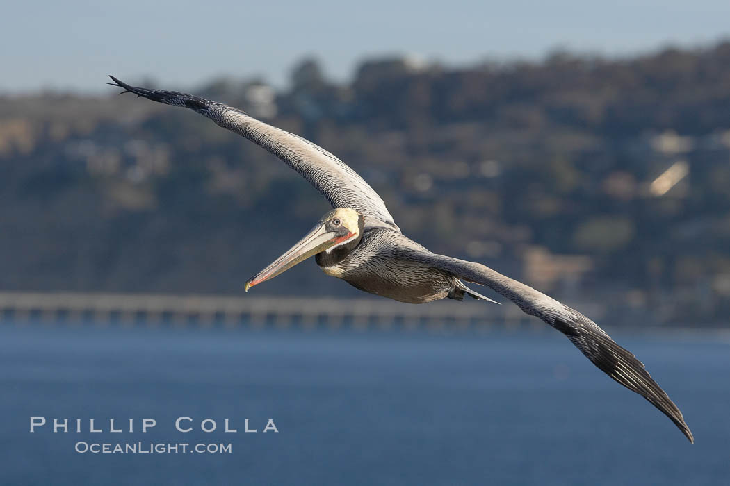 Brown pelican in flight.  The wingspan of the brown pelican is over 7 feet wide. The California race of the brown pelican holds endangered species status.  In winter months, breeding adults assume a dramatic plumage., Pelecanus occidentalis, Pelecanus occidentalis californicus,  Copyright Phillip Colla, image #20053, all rights reserved worldwide.