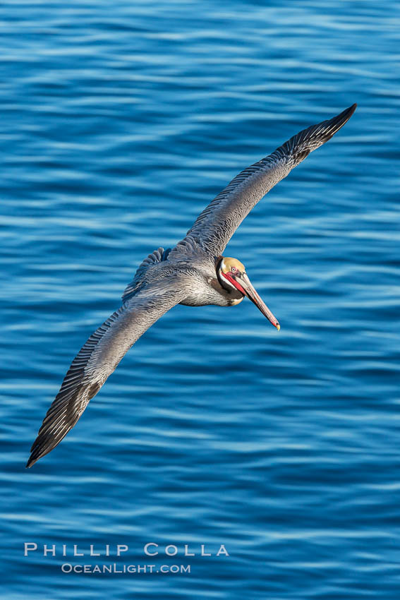 California brown pelican in flight. The wingspan of the brown pelican is over 7 feet wide. The California race of the brown pelican holds endangered species status. In winter months, breeding adults assume a dramatic plumage, La Jolla