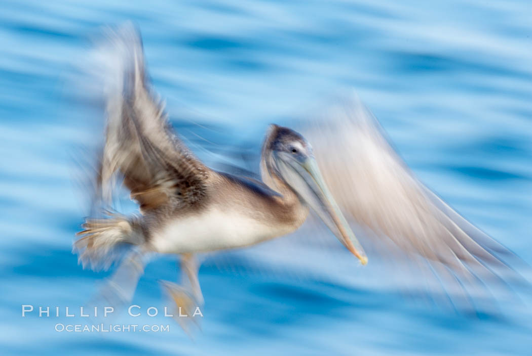 Brown pelican in flight.  The wingspan of the brown pelican is over 7 feet wide. Long exposure shows motion as a blur. The California race of the brown pelican holds endangered species status.  In winter months, breeding adults assume a dramatic plumage with dark brown hindneck and bright red gular throat pouch. La Jolla, California, USA, Pelecanus occidentalis, Pelecanus occidentalis californicus, natural history stock photograph, photo id 15160