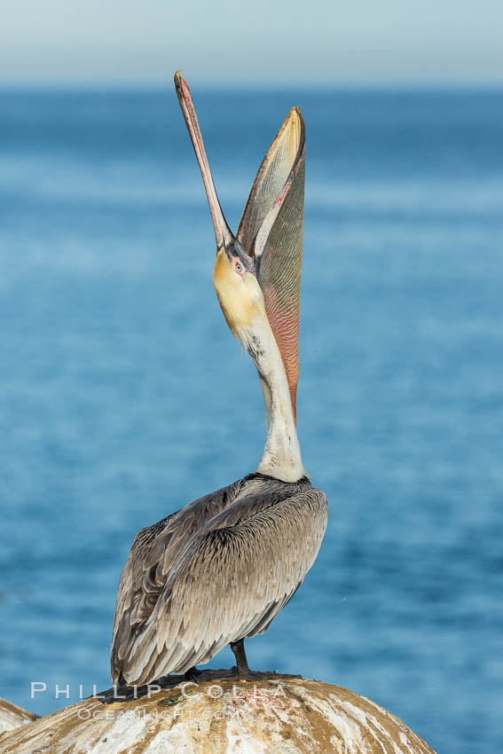 California Brown Pelican head throw, stretching its throat to keep it flexible and healthy. Note the winter mating plumage, olive and red throat, yellow head. La Jolla, USA, Pelecanus occidentalis, Pelecanus occidentalis californicus, natural history stock photograph, photo id 30327
