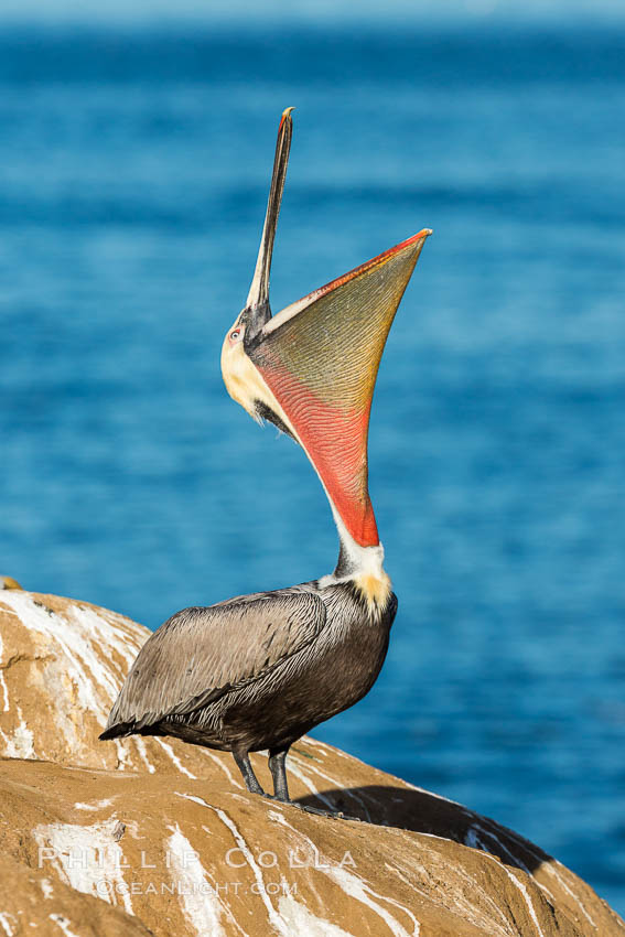 California Brown Pelican head throw, stretching its throat to keep it flexible and healthy. La Jolla, USA, Pelecanus occidentalis, Pelecanus occidentalis californicus, natural history stock photograph, photo id 30283