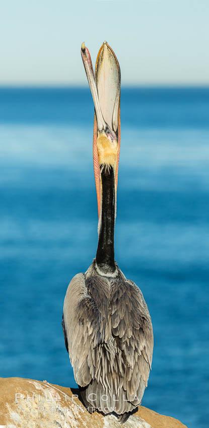 California Brown Pelican head throw, stretching its throat to keep it flexible and healthy. La Jolla, California, USA, Pelecanus occidentalis, Pelecanus occidentalis californicus, natural history stock photograph, photo id 30297