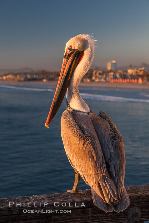 California brown pelican on Oceanside Pier, sitting on the pier railing, sunset, winter. Oceanside Pier, Oceanside, California, USA, Pelecanus occidentalis, Pelecanus occidentalis californicus, natural history stock photograph, photo id 27607