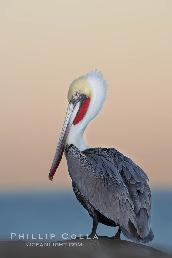 Brown pelican, non-breeding winter plumage.  This large seabird has a wingspan over 7 feet wide. The California race of the brown pelican holds endangered species status, due largely to predation in the early 1900s and to decades of poor reproduction caused by DDT poisoning., Pelecanus occidentalis, Pelecanus occidentalis californicus,  Copyright Phillip Colla, image #20078, all rights reserved worldwide.