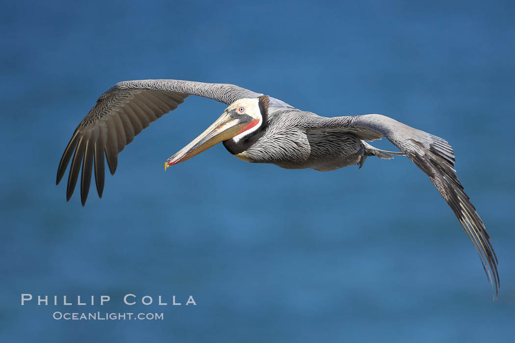 Brown pelican in flight.  The wingspan of the brown pelican is over 7 feet wide. The California race of the brown pelican holds endangered species status.  In winter months, breeding adults assume a dramatic plumage., Pelecanus occidentalis, Pelecanus occidentalis californicus,  Copyright Phillip Colla, image #20294, all rights reserved worldwide.