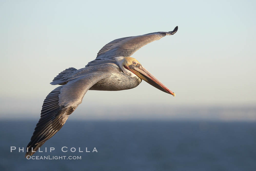California brown pelican in flight, soaring over the ocean with its huge wings outstretched.  The wingspan of the brown pelican can be over 7 feet wide. The California race of the brown pelican holds endangered species status.  Adult winter non-breeding plumage showing white hindneck and red gular throat pouch, Pelecanus occidentalis, Pelecanus occidentalis californicus, La Jolla