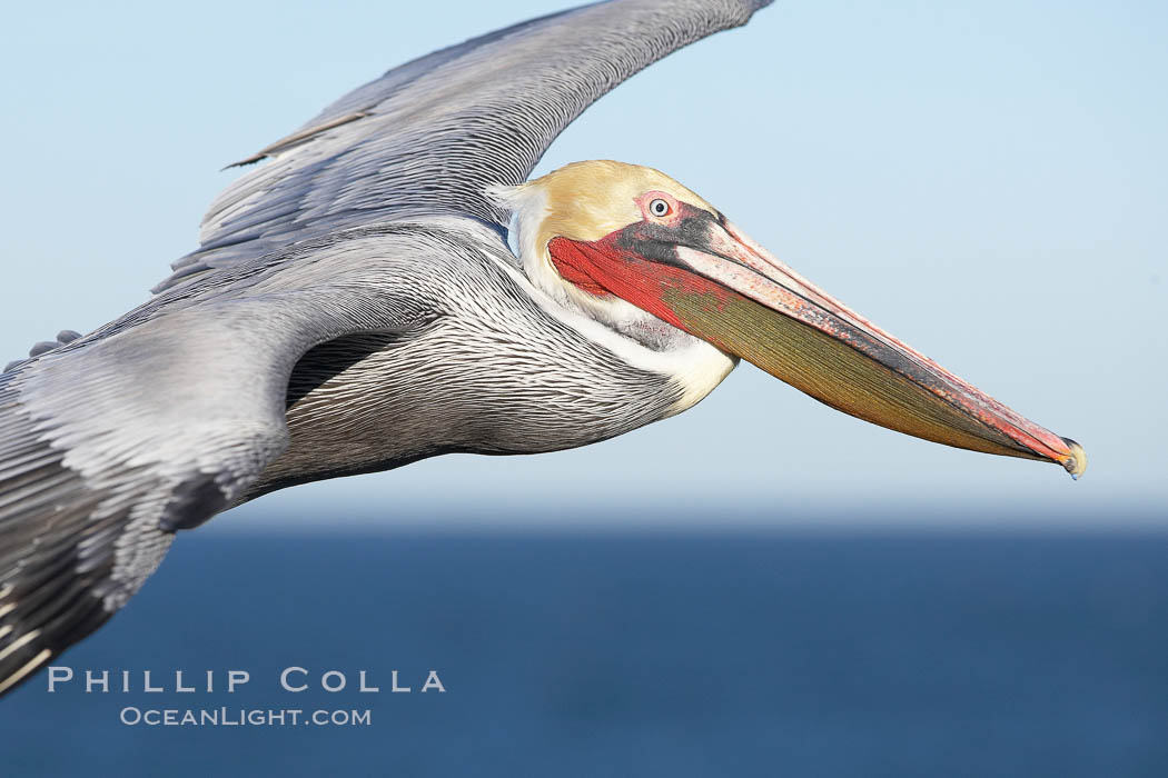 California brown pelican in flight, soaring over the ocean with its huge wings outstretched.  The wingspan of the brown pelican can be over 7 feet wide. The California race of the brown pelican holds endangered species status.  Adult winter non-breeding plumage showing white hindneck and red gular throat pouch., Pelecanus occidentalis, Pelecanus occidentalis californicus,  Copyright Phillip Colla, image #20083, all rights reserved worldwide.