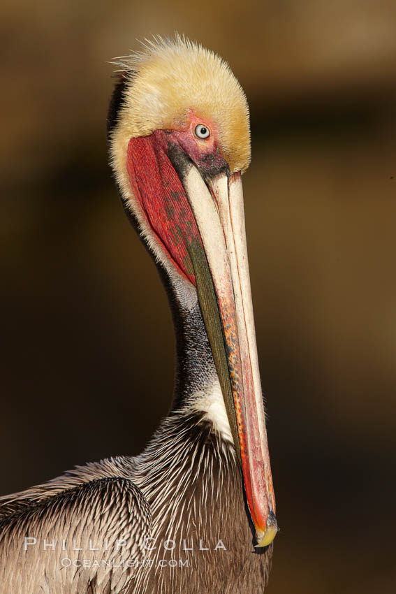 Brown pelican portrait, displaying winter breeding plumage with distinctive dark brown nape, yellow head feathers and red gular throat pouch., Pelecanus occidentalis, Pelecanus occidentalis californicus,  Copyright Phillip Colla, image #22529, all rights reserved worldwide.