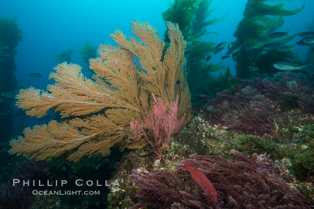 California golden gorgonian on underwater rocky reef below kelp forest, San Clemente Island. The golden gorgonian is a filter-feeding temperate colonial species that lives on the rocky bottom at depths between 50 to 200 feet deep. Each individual polyp is a distinct animal, together they secrete calcium that forms the structure of the colony. Gorgonians are oriented at right angles to prevailing water currents to capture plankton drifting by, San Clemente Island. The golden gorgonian is a filter-feeding temperate colonial species that lives on the rocky bottom at depths between 50 to 200 feet deep. Each individual polyp is a distinct animal, together they secrete calcium that forms the structure of the colony. Gorgonians are oriented at right angles to prevailing water currents to capture plankton drifting by. San Clemente Island, California, USA, Muricea californica, natural history stock photograph, photo id 30893