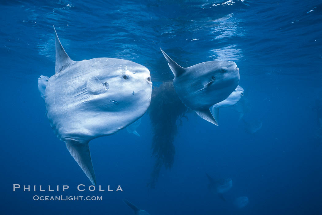 Ocean sunfish schooling near drift kelp, soliciting cleaner fishes, open ocean, Baja California., Mola mola, natural history stock photograph, photo id 06394
