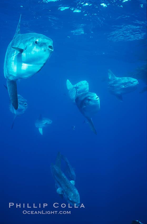 Ocean sunfish schooling near drift kelp, soliciting cleaner fishes, open ocean, Baja California., Mola mola, natural history stock photograph, photo id 06332
