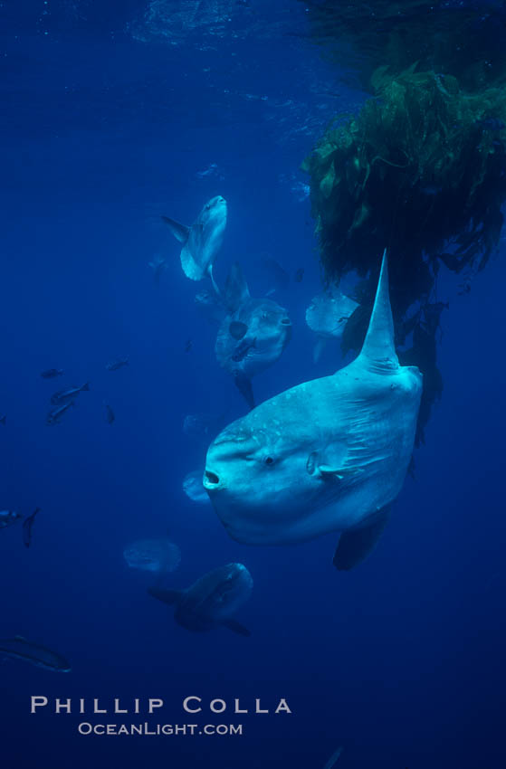 Ocean sunfish schooling near drift kelp, soliciting cleaner fishes, open ocean, Baja California., Mola mola, natural history stock photograph, photo id 06384