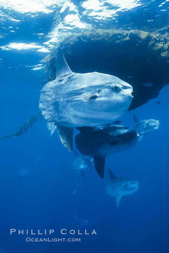 Ocean sunfish schooling near drift kelp, soliciting cleaner fishes, open ocean, Baja California., Mola mola, natural history stock photograph, photo id 06315