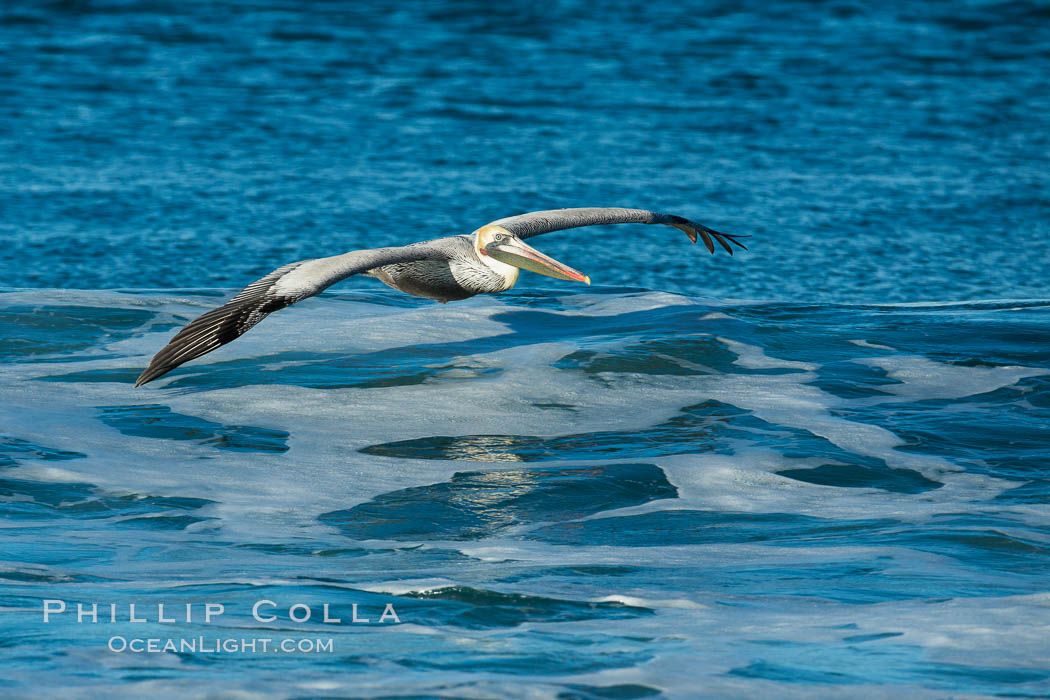 California Pelican flying on a wave, riding the updraft from the wave., Pelecanus occidentalis, Pelecanus occidentalis californicus, natural history stock photograph, photo id 30269