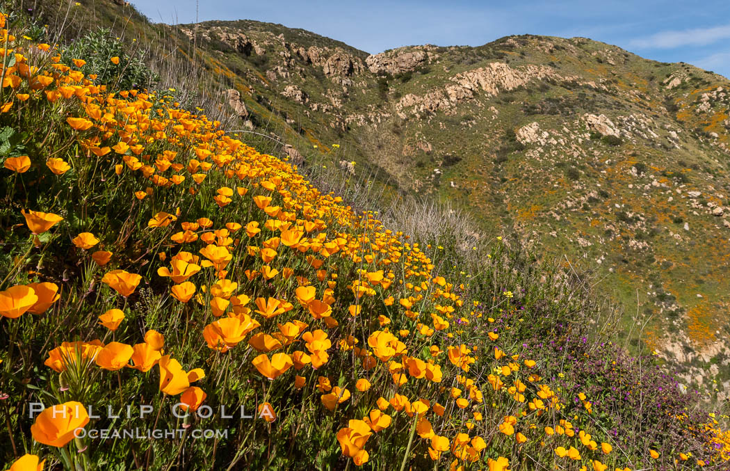 California poppies cover the hillsides in bright orange. Del Dios, San Diego, USA, Eschscholzia californica, natural history stock photograph, photo id 35165