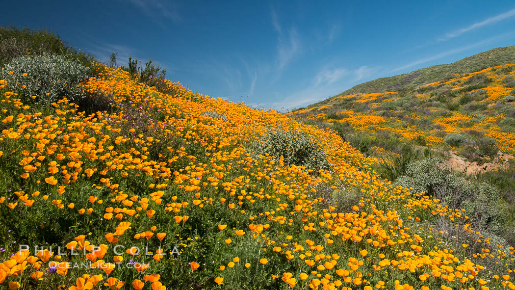 California Poppies, Diamond Valley Lake, Hemet. Hemet, California, USA, natural history stock photograph, photo id 33133