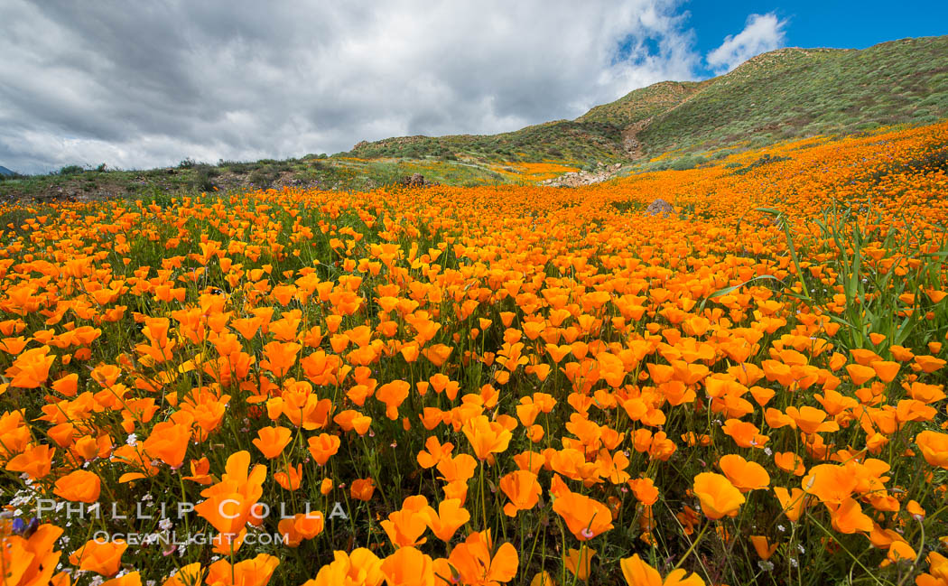 Photographs of southern californias spring wildflowers the 2017 california poppies elsinore mightylinksfo Image collections