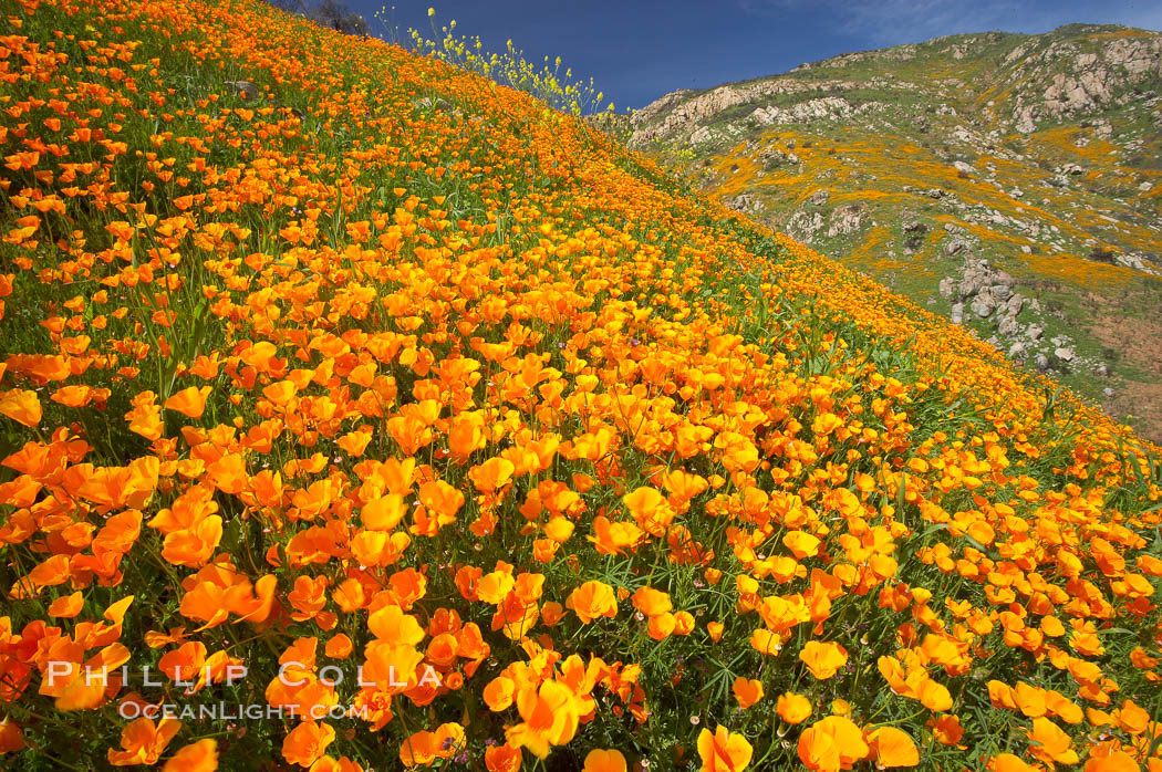 California poppies cover the hillsides in bright orange, just months after the area was devastated by wildfires., Eschscholzia californica,  Copyright Phillip Colla, image #20490, all rights reserved worldwide.