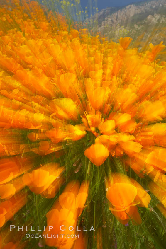 California poppies in a blend of rich orange color, blurred by a time exposure., Eschscholzia californica,  Copyright Phillip Colla, image #20506, all rights reserved worldwide.