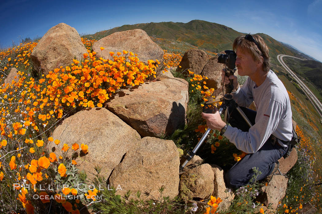 A photographer trains his camera on a bright orange bloom of California poppies., Eschscholzia californica,  Copyright Phillip Colla, image #20504, all rights reserved worldwide.