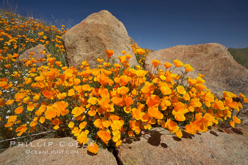 California poppies bloom amidst rock boulders, Eschscholzia californica, Elsinore