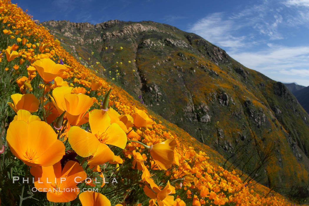 California poppies cover the hillsides in bright orange, just months after the area was devastated by wildfires, Eschscholzia californica, Del Dios, San Diego