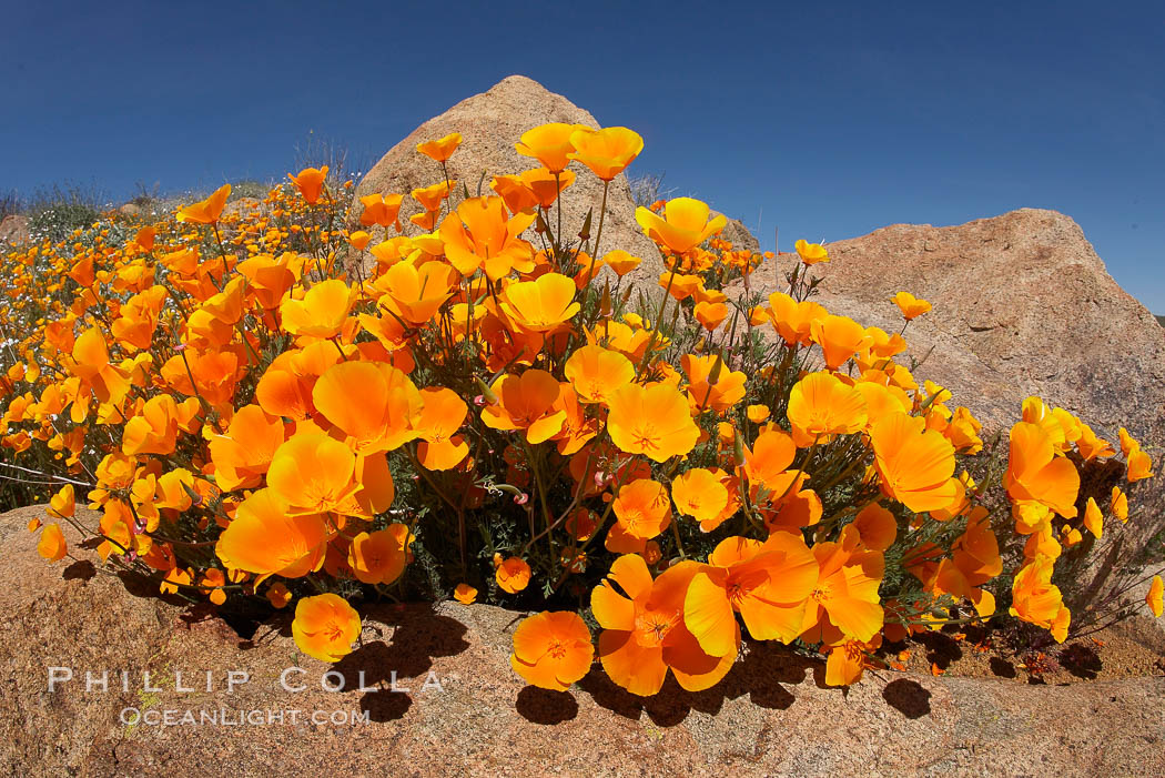 California poppies cover the hills in a brilliant springtime bloom. Elsinore, California, USA, Eschscholzia californica, Eschscholtzia californica, natural history stock photograph, photo id 20896