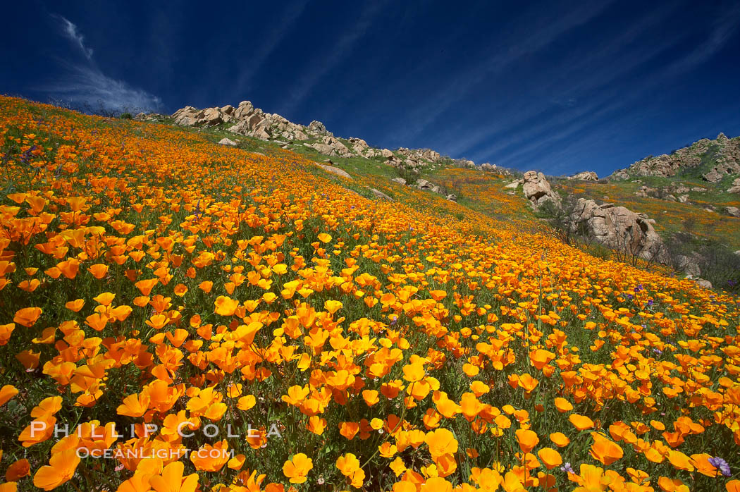 California poppies cover the hillsides in bright orange, just months after the area was devastated by wildfires., Eschscholzia californica,  Copyright Phillip Colla, image #20497, all rights reserved worldwide.