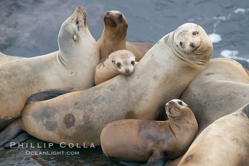 California sea lions hauled out on rocks beside the ocean., Zalophus californianus,  Copyright Phillip Colla, image #20130, all rights reserved worldwide.