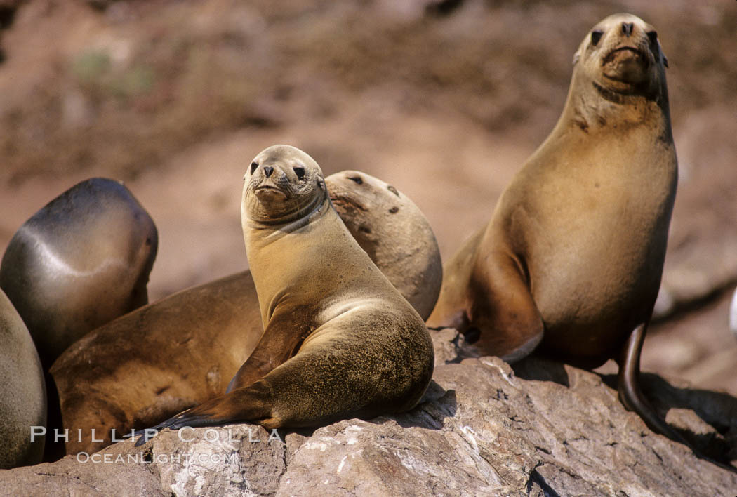 California sea lions, Coronado Islands. Coronado Islands (Islas Coronado), Coronado Islands, Baja California, Mexico, Zalophus californianus, natural history stock photograph, photo id 02934