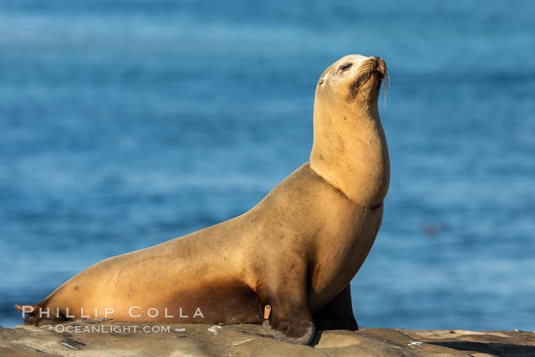 California sea lion wounded from entanglement in fishing line, La Jolla. USA, Zalophus californianus, natural history stock photograph, photo id 35156