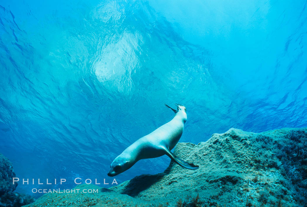 California sea lion, Zalophus californianus, Guadalupe Island (Isla Guadalupe)