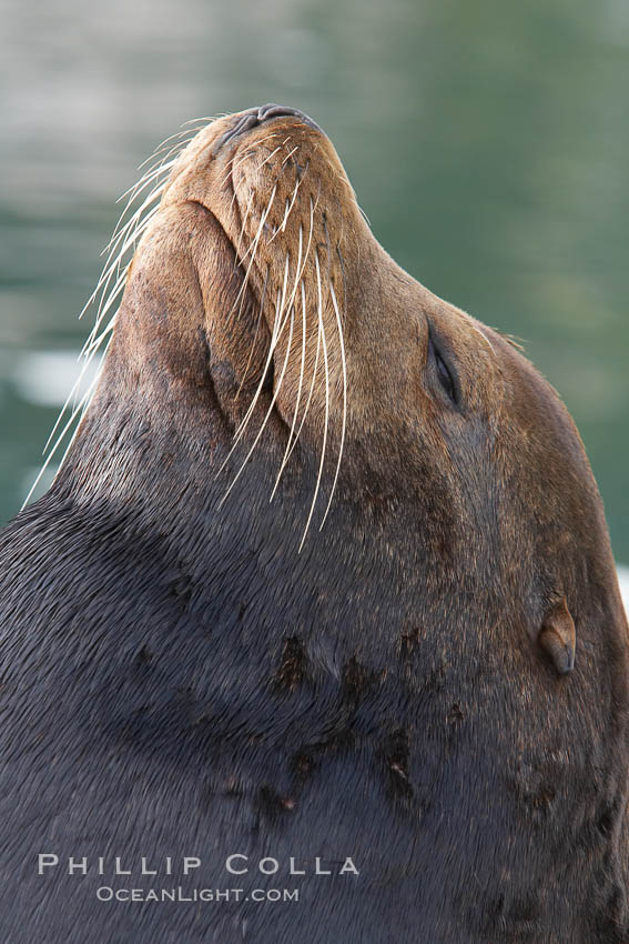 Image 19432, Sea lion head profile, showing small external ear, prominant forehead typical of adult males, whiskers.  This sea lion is hauled out on public docks in Astoria's East Mooring Basin.  This bachelor colony of adult males takes up residence for several weeks in late summer on public docks in Astoria after having fed upon migrating salmon in the Columbia River.  The sea lions can damage or even sink docks and some critics feel that they cost the city money in the form of lost dock fees. Columbia River, Astoria, Oregon, USA, Zalophus californianus, Phillip Colla, all rights reserved worldwide. Keywords: animal, animalia, astoria, bay, brand, california sea lion, californianus, caniformia, carnivora, carnivore, chordata, columbia river, creature, dock, eared seal, harbor, lobo marino, mammal, mammalia, marina, marine, marine mammal, maritime, nature, ocean, oregon, otarid, otariid, otariidae, pier, pinniped, pinnipedia, sea, sea dog, sea lion, sealion, usa, vertebrata, vertebrate, water, wharf, wildlife, zalophus, zalophus californianus.