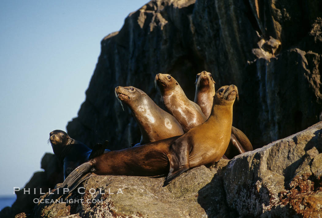 California sea lion, Sea of Cortez., Zalophus californianus, natural history stock photograph, photo id 00299
