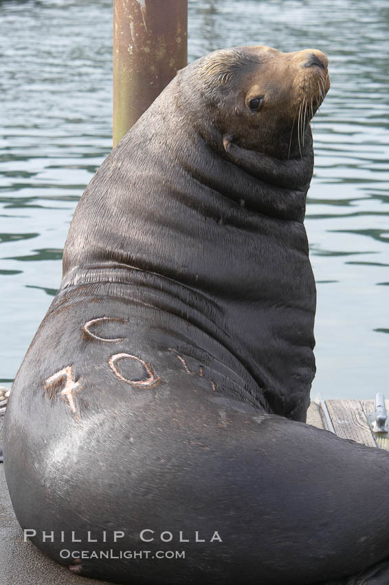 "A bull sea lion shows a brand burned into its hide by the Oregon Department of Fish and Wildlife, to monitor it from season to season as it travels between California, Oregon and Washington.  Some California sea lions, such as this one C-704, prey upon migrating salmon that gather in the downstream waters and fish ladders of Bonneville Dam on the Columbia River.  The ""C"" in its brand denotes Columbia River. These  sea lions also form bachelor colonies that haul out on public docks in Astoria's East Mooring Basin and elsewhere, where they can damage or even sink docks. Columbia River, Astoria, Oregon, USA, Zalophus californianus, natural history stock photograph, photo id 19419"