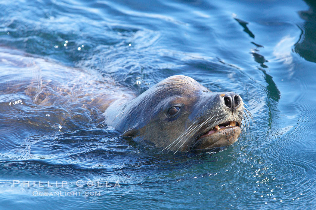 California sea lion, adult male, breathing at surface. San Diego, California, USA, Zalophus californianus, natural history stock photograph, photo id 21367