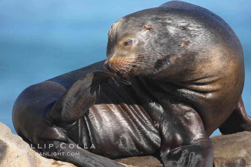 California sea lion, adult male, Zalophus californianus, La Jolla