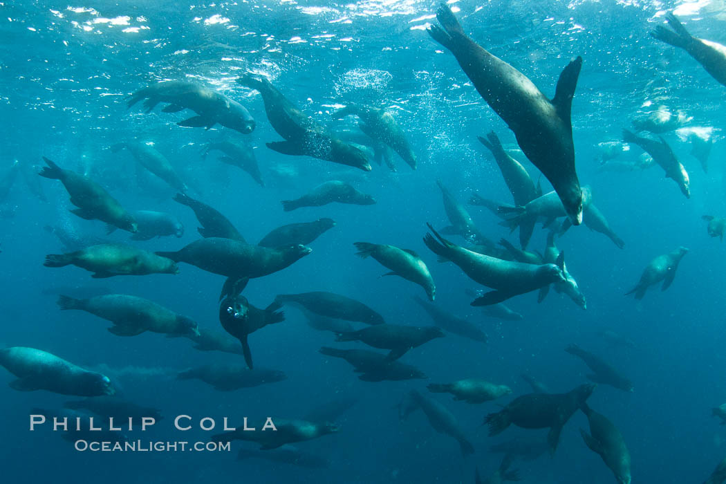 Large group of bachelor adult male California sea lions, underwater view, ...