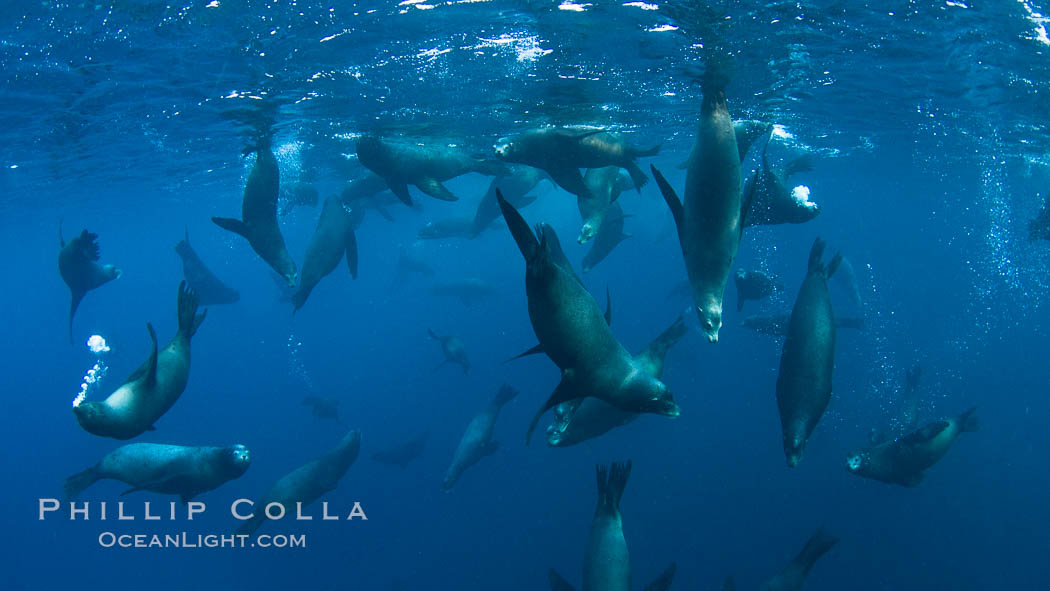 Large group of bachelor adult male California sea lions, underwater view, at Isla Las Animas near La Paz, Sea of Cortez, Baja California. Sea of Cortez, Baja California, Mexico, Zalophus californianus, natural history stock photograph, photo id 27463
